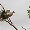 The New Dove In Town by Tom Janca