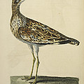 The Norfolk Plover by British Library