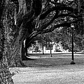 The Oaks Of Audubon Park by Susie Hoffpauir