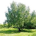 The Old Birch Tree by Loreta Mickiene