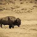 The Old Bull by TL  Mair