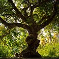 The Old Mango Tree by Ferry Zievinger