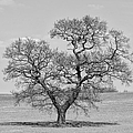 The Old Oak - Mono by Steev Stamford