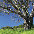 The Old Oak Tree by Donna Blackhall
