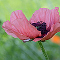 The One And Only Pink Poppy by Ness Welham