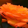 The Orange Rose