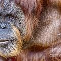 The Orangutan Album  by Douglas Barnard
