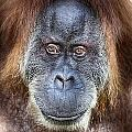 The Orangutan Album V4 by Douglas Barnard