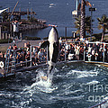 The Original Shamu Orca Sea World San Diego 1967 by California Views Archives Mr Pat Hathaway Archives
