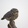 The Owl by S S Cheema