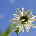 The Oxeye Daisy by Vasilisa Moruga