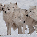 The Pack by Bianca Nadeau