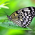 The Paper Kite Or Rice Paper Or Large Tree Nymph Butterfly Also Known As Idea Leuconoe 2 by Amanda Mohler
