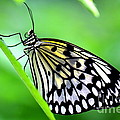 The Paper Kite Or Rice Paper Or Large Tree Nymph Butterfly Also Known As Idea Leuconoe by Amanda Mohler
