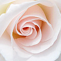 The Pastel Rose by Steve Taylor