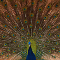 The Peacock 2 by Ernie Echols