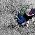 The Peacock by Davandra Cribbie