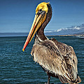 The Pelican Of Oceanside Pier by Diana Powell