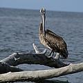 The Pelican Pose by Patricia Twardzik