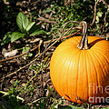 The Perfect Pumpkin In The Patch by Living Color Photography Lorraine Lynch
