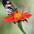 The Piano Key Butterfly by Sabrina L Ryan