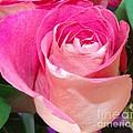 The  Pink Rose by Gail Matthews