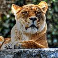 The Pondering Lioness by Michael Frank Jr