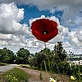 The Poppies Show You The Way by Georgina Noronha