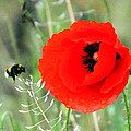 The Poppy And The Bee by Laurel Talabere
