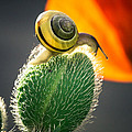 The Poppy And The Snail by Eti Reid