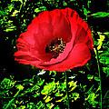 The Poppy by Terri Waters
