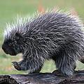 The Porcupine Walk by Cheryl Cencich