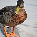 The Posing Duck by Maria Urso