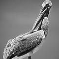 The Proper Pelican by Michelle Constantine
