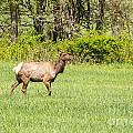 The Proud Elk by Terri Morris