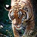 Prowling Tiger by Athena Mckinzie