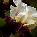 Purple And White Iris by Thom Zehrfeld