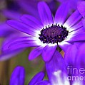 The Purple Daisy by Sabrina L Ryan