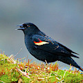 The Red-winged Blackbird (agelaius by Richard Wright