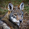 The Red Wolf by Steve McKinzie