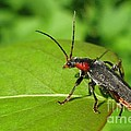 The Rednecked Bug- Close Up by Ausra Huntington nee Paulauskaite