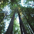 The Redwood Giants by Kathy Sampson