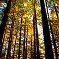 The Redwoods Of Florence Keller Park by Tikvah's Hope