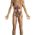 The Renal System Male by Science Picture Co