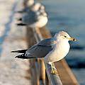 The Ring-billed Gull by Kristia Adams