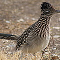 The Roadrunner by G Berry