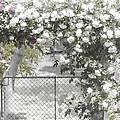 The Rose Arbor by Elaine Teague