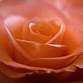 The Rose by Kim Lagerhem