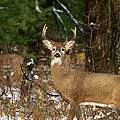 The Rutting Whitetail Buck by Thomas Young