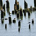 The Sea Gulls by Minnie Davis